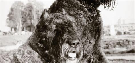 bouvier des flandres modern dog magazine