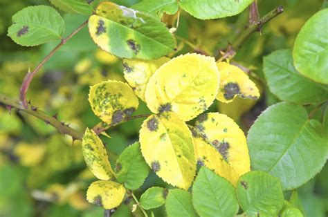 save  roses heres   fight dreaded black spot