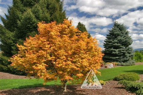 maple garden great falls acer palmatum orange japanese maple its upright