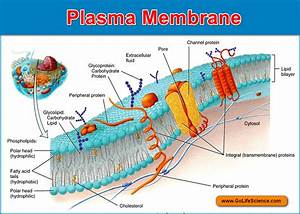 Wiring Diagram  32 Plasma Membrane Diagram