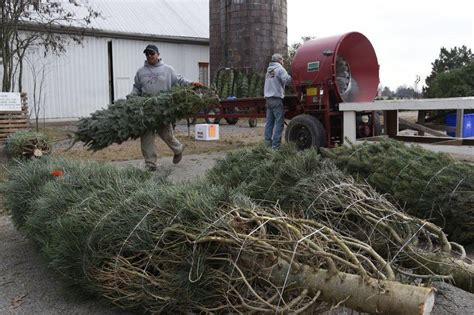 cut your own christmas tree westminster md cut your own tree farms grow tradition cheer baltimore sun