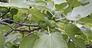 Feigenbaum Im Garten : feigenbaum vermehren mein sch ner garten ~ Orissabook.com Haus und Dekorationen
