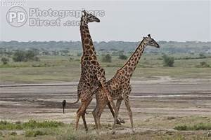 PD Stock photo : Giraffe Mating 4