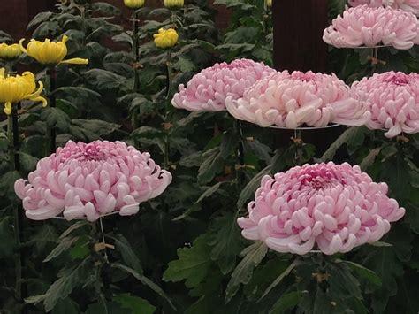 japaneese flowers chrysanthemum exhibitions enjoy japanese flowers in autumn deepjapan
