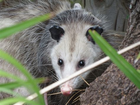 opossum facts 10 things you never knew about the