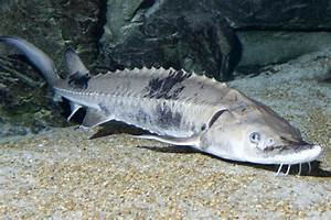 Chicago's Largest Fish Are Older Than Dinosaurs - South ...