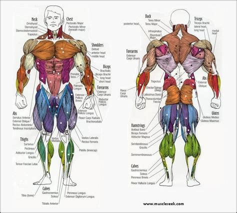 Learn about torso muscles with free interactive flashcards. Muscles Anatomy - Different Muscles Name & Location ...