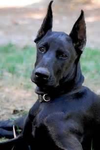 All-Black Doberman Pinscher