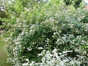 Schnell Wachsender Busch : schnellwachsende straucher fur den garten ~ Lizthompson.info Haus und Dekorationen