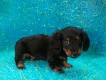 mini dachshunds  sale  manhattan manhattan puppies kittens