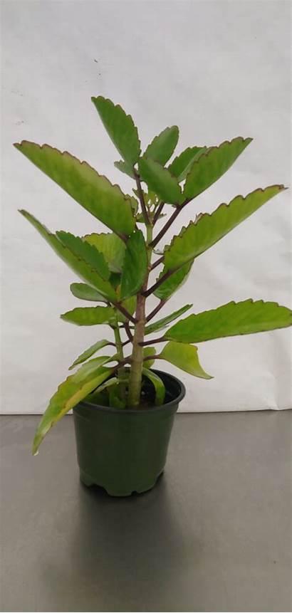 Plant Bryophyllum Leaf Cathedral Miracle Medicinal Bells