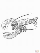 Lobster Coloring Hummer Maine Disegni Colorare Spiny Kreeft Ausmalbilder Aragosta Stampare Amerikanischer Kleurplaat Ausmalbild Disegno Kreeften Desenhos Zum Colorir Kleurplaten sketch template