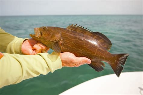 edible grouper island bonefish key west angler pine smaller caught lot much these