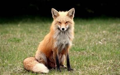 Fox Wallpapers Backgrounds Suspicious Desktop Animals Animal