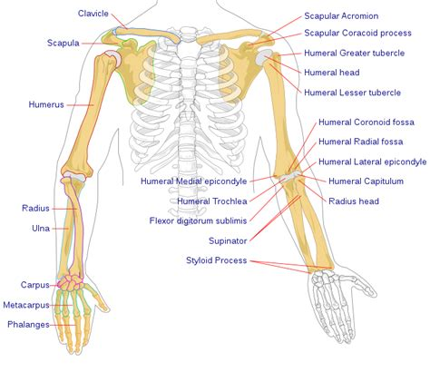 Basic Bone Diagram by Pilt Human Arm Bones Diagram Svg