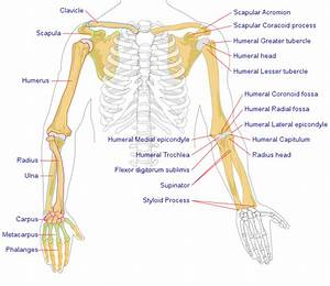 Pilt Human Arm Bones Diagram Svg  U2013 Wikipedia