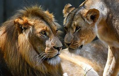 Pair Lioness Lions Male Background Lev Nature