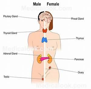 Endocrine Glands Diagram Unlabeled Endocrine Glands Diagram Labeled The Endocrine System