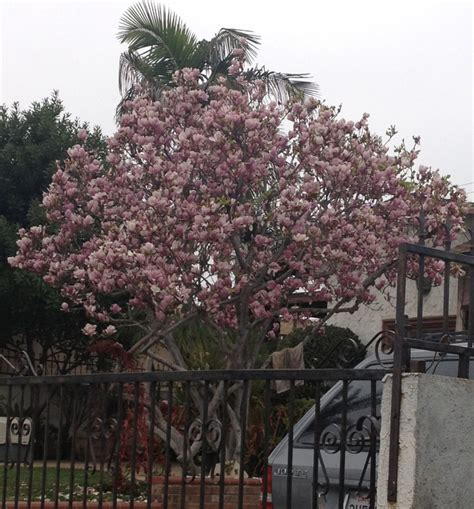 japanese magnolia tree facts 17 best images about trees on pinterest pear trees kousa dogwood and front yards