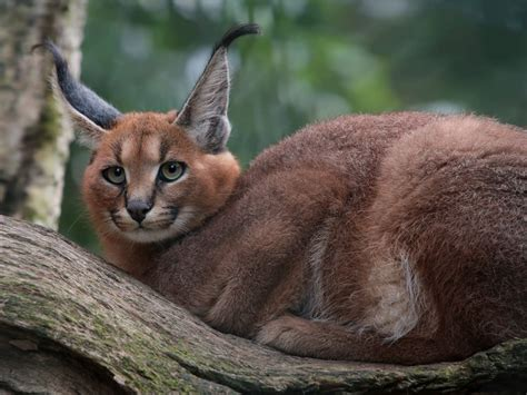 caracal caracal caracal english pronunciation  aer
