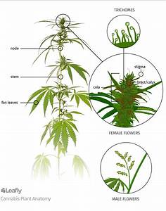 Anatomy Of Marijuana Plants  The Different Parts