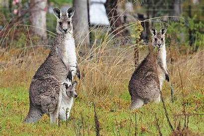 Kangaroo Australia Kangaroos Facts Australian Indigenous Outback