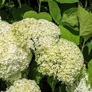Plantes Et Jardin : hortensia 39 annabelle 39 plantes et jardins ~ Melissatoandfro.com Idées de Décoration