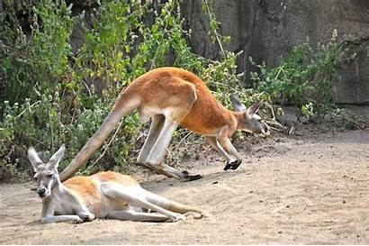 Kangaroo Pics4learning Dsc