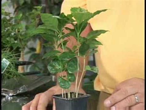 Indoor plants are living decor to spruce up any space. Gardening Plant Care : Coffee Plant Care - YouTube
