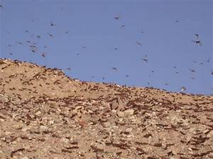 A Plague of Locusts Descends Upon the Holy Land, Just in ...