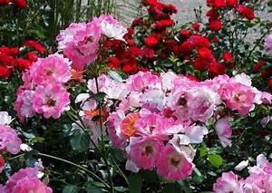 Blumen Lange Blütezeit : rose 39 angela 39 vermutlich die sch nste rosa strauchrose ~ Michelbontemps.com Haus und Dekorationen