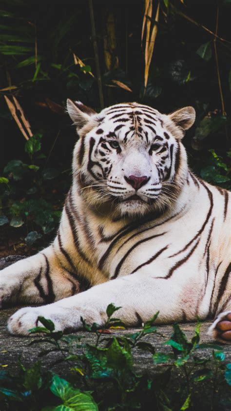 wallpaper white tiger  animals