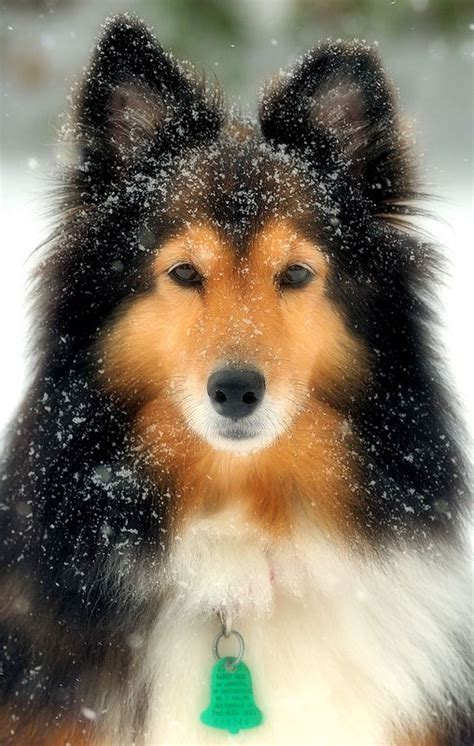 sheltie shedding in winter 25 best ideas about shetland sheepdog puppies on