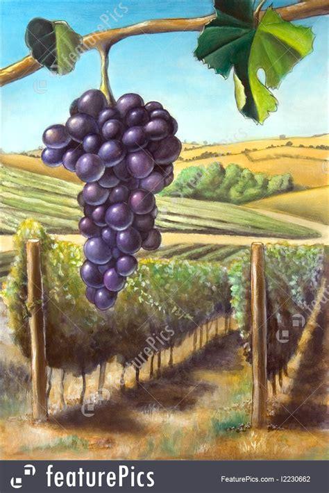 grape  vineyard illustration