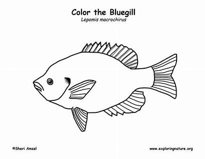 Bluegill Coloring Support Exploringnature Sponsors Wonderful Please