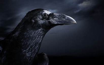 Ravens Facts Raven Fascinating Hq