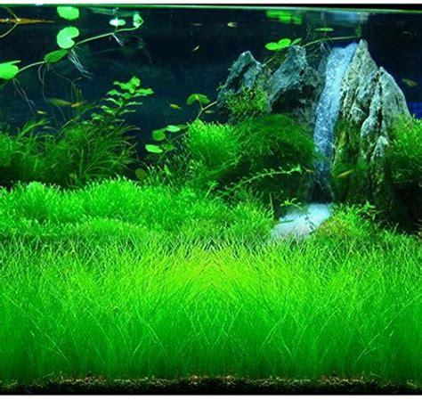 plants seeds plant aquatic aquarium 10g hydroponic eleocharis organic fish decorations tank clickreason hone planting growing leaf flower garden