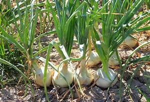 Cebolla  Allium Cepa L