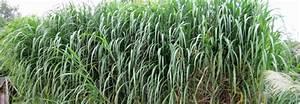 Chinaschilf Im Kübel : garten bambus standing stone fargesia murieliae standing stone diese pflegeleichte bambus ~ Frokenaadalensverden.com Haus und Dekorationen