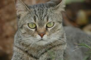 mixed breed tabby cat picture 6888 pet gallery
