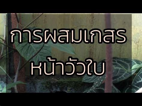 วิธีผสมเกสรหน้าวัวใบ How to pollinate Anthurium. - YouTube