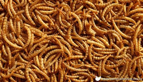 7 reasons why you should feed your chickens mealworms