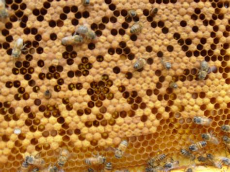 Natural Bee Hive Removal In Narrabundah