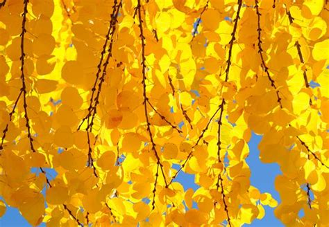 tree with yellow leaves in fall 9 trees with spectacular fall foliage mental floss