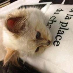 Choupette Chat Karl : karl lagerfeld s inspire de son chat pour chanel people wamiz ~ Medecine-chirurgie-esthetiques.com Avis de Voitures