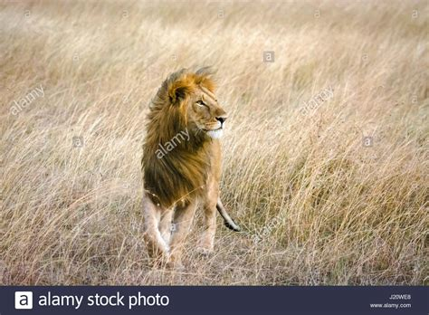 Male Lion In The Wind Stockfotos & Male Lion In The Wind