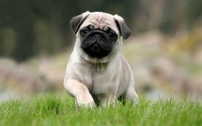 Pug Puppy Desktop Wallpapersafari