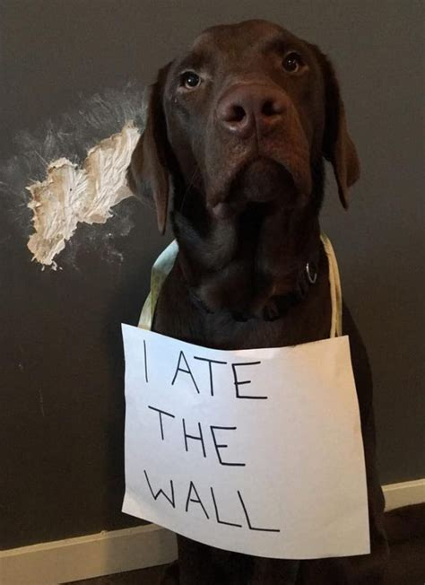 dogs viralitytoday wall eat things doing human normal