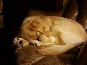 90 best images about Sleeping Golden retrievers on ...