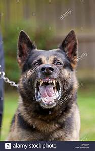 A former prison service German Shepherd working dog ...
